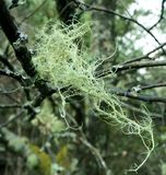 Tree Lichen Royalty Free Stock Photo