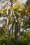 Tree with long hair. Stock Photos