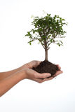 Tree of life. Woman's hands cradling a bonsai tree, isolated on white. Concept: new life Royalty Free Stock Photography