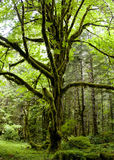 Tree of Life. A mossy tree in the Olympic National Park, Washington Royalty Free Stock Photo