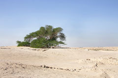 Tree of life a 400 year-old mesquite tree Bahrain. A 400 year-old mesquite tree which lives in the middle of desert Stock Image