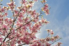 Tree of life. Tree flowers on blue sky in spring Royalty Free Stock Photo