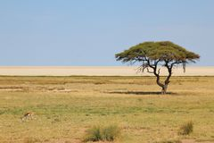 Tree of Life and Age - Simplistic Nature Background. A lone false Camel thorn tree stands on an open plain, as seen in the wilds of Namibia, southwestern Africa Royalty Free Stock Photos