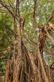 Tree of Life, Amazing Banyan Tree Stock Image