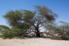 Tree of life Bahrain. Single tamarisk in the desert Royalty Free Stock Images