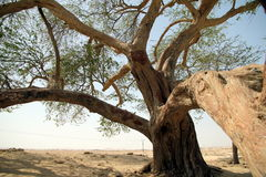 The tree of life. In Bahrain Royalty Free Stock Photo