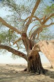 The tree of life. In Bahrain Stock Image