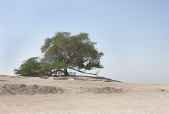 Tree of life in Bahrain, a 400 year-old tree Stock Photos