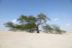 The Tree of Life in Bahrain Royalty Free Stock Photos