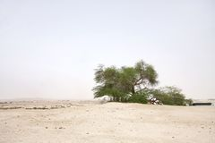 Tree of life in Bahrain desert. A 400 year-old mesquite tree which lives in the middle of desert Stock Photo