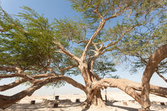 Tree of Life, Bahrain. The natural landmark of Bahrain - the 400-year-old Tree of Life. Kingdom of Bahrain, Middle East royalty free stock images