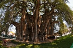 Tree of LIfe (fish eye). Tree of Life - stoutest trunk of any tree in the world. Circumference 36,2 m (119 ft),diameter 11,62 m (38,1 ft). State of Oaxaca Royalty Free Stock Photo