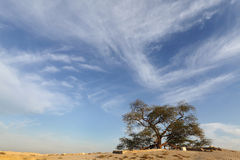 Tree of life, old mesquite tree, bahrain Royalty Free Stock Photo