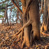 Tree of Life, roots of the Banyan Tree Stock Images