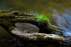 Tree of life. Rotten wood in the creek where he grew up blade of grass Stock Photo