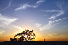 Tree of life  a 400 year-old mesquite tree during sunset Royalty Free Stock Photography