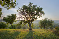 Tree in the light of the sun Royalty Free Stock Photo