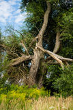 Tree after lightning strikes. A tree in summer after lightning strikes Royalty Free Stock Image