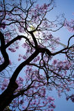 Tree with lilac-colored flowers Stock Photography