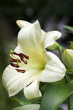 Tree Lily Blossom, common name - Garden Affair. Pure white, upward-facing blooms attract the attention of gardeners and insects alike to this unusual Tree Lily royalty free stock photo