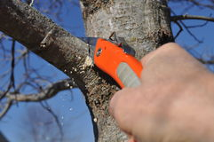 Tree Limb Being Properly Pruned. Proper pruning cut being made outside branch collar on tree limb royalty free stock image