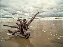 Tree limb washed ashore. On wet sand Royalty Free Stock Photos