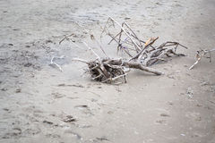 Tree Limbs And Branches In The Sand. Photo of tree limbs and branches washed up ashore on sandy beach. Photograph taken at Long Point Beach, Ontario Canada Stock Image