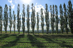 Tree line in contrejour lighting. Tree line of poplar tree in contrejour lighting Royalty Free Stock Images