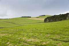 Tree line in green hills. Line of trees in a landscape of green hills with black and white cows and sheep Stock Images
