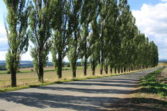 Tree line of poplar trees with shadows on the grou. Tree line of poplar tree next to the road with shadows on the ground Royalty Free Stock Photos
