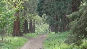 Tree lined Avenue at Havering Country Park 1. Caledonian Pine Trees stand on parade stock images