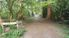 Tree lined Avenue at Havering Country Park 6. Pine Trees and Oak tower above stock photography