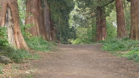Tree lined Avenue at Havering Country Park 4. Tree lined Avenue at Havering Country Park. Caledonian Pine, more than 250 years old stock photo