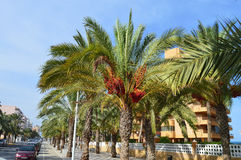 A Tree Lined Avenue - Palm Trees In Town Royalty Free Stock Photo