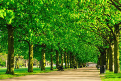 Tree-lined avenue in park Royalty Free Stock Images