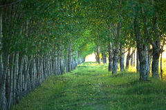 Tree lined countryside path Stock Photo