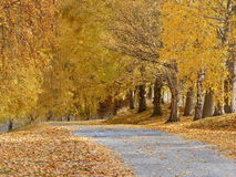 Tree lined driveway with Autumn leaf fall Stock Photo