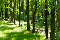 Tree Lined Forest in Natural Sulight Royalty Free Stock Image
