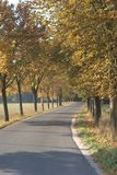 Tree lined lane in Autumn. A tree lined lane in autumn, with leaves falling. The lines of trees are getting soaked in sunlight and showing their golden yellow stock photography