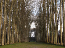 Tree lined lane on winter. Versailles, France in December : Tree lined lane on winter Royalty Free Stock Images