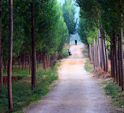 Tree lined path. On sunshine day Royalty Free Stock Photos