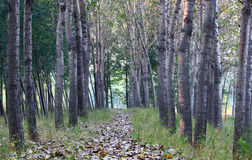 Tree lined path and fall leaves Royalty Free Stock Image