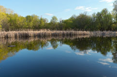 Tree-lined Pond and Reedy Marsh in Spring Royalty Free Stock Photography