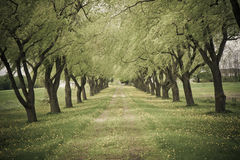 Tree-lined Road. A dirty path in the countryside lined with trees Stock Photo