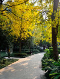 Tree-lined road. Ginkgo tree of greenway in the autumn Royalty Free Stock Photos
