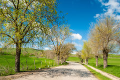 Tree-lined road. In the sicilian countryside during the spring with blue sky in background Royalty Free Stock Photo