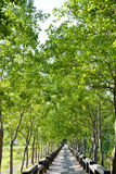 Tree lined rural lane Royalty Free Stock Image