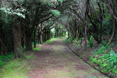 Tree lined track in forest Royalty Free Stock Photos