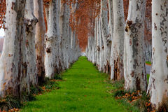 Tree lines. With grass path royalty free stock photography