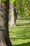 Tree lineup in park. Lineup of mature tree trunks in a park setting Royalty Free Stock Photos